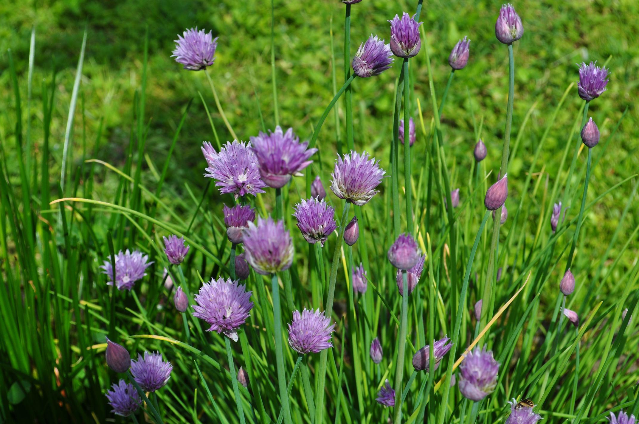 Erba cipollina : pianta aromatica dalle foglie profumate ...