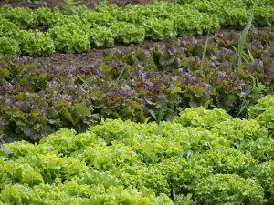 verdure foglia